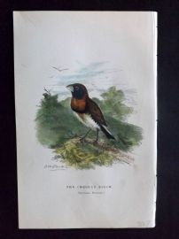 C. W. Gedney 1888 Antique Hand Col Bird Print. Chesnut Finch. Australia Native